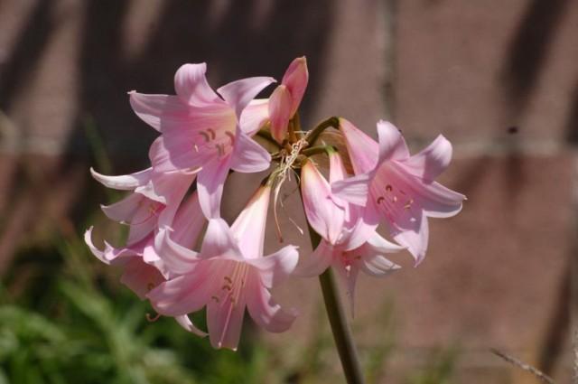 Amaryllis belladonna veya Amaryllis belladonna