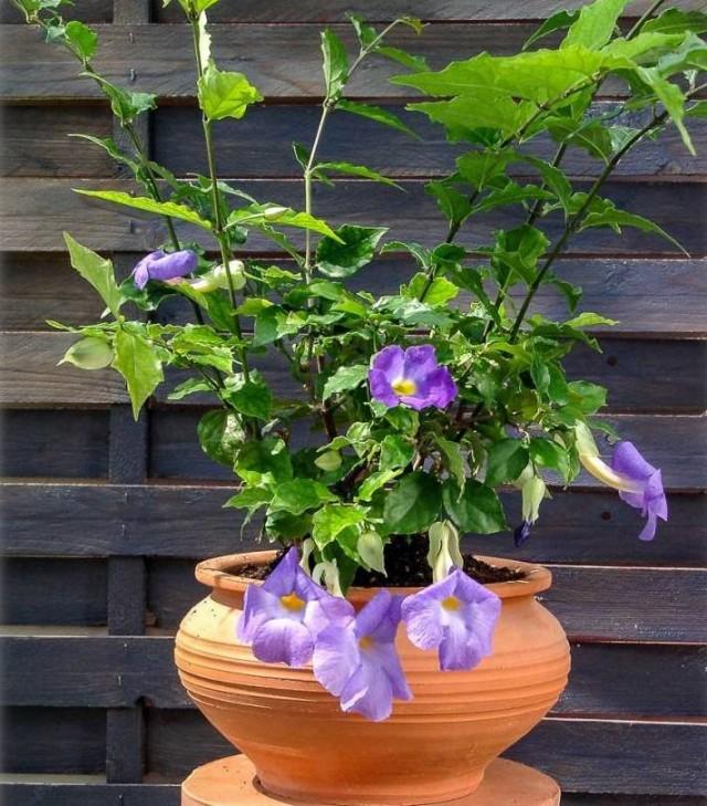 Bahçe tunbergia'sında olduğu gibi, oda dik tunbergia'da, solmakta olan çiçekleri düzenli olarak çimdiklemelisiniz.