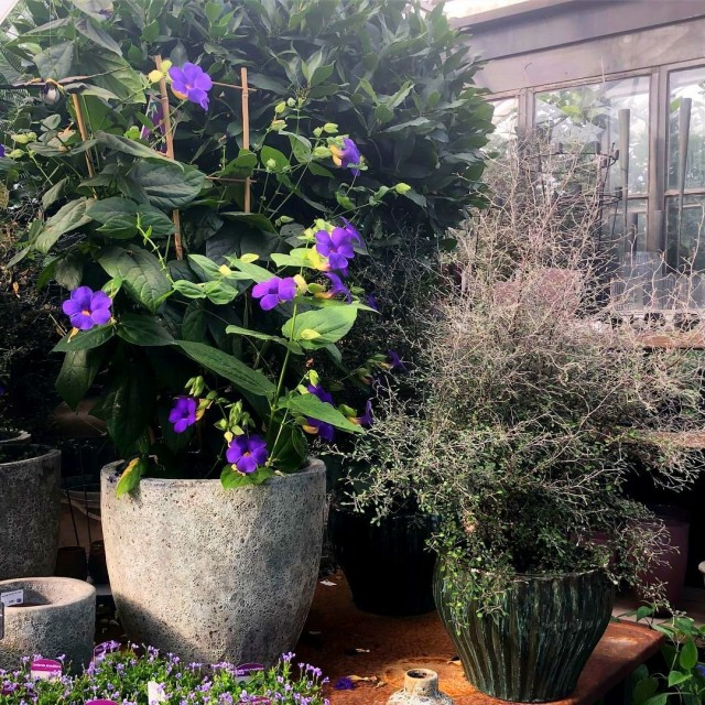Tunbergia yaz aylarında açık havada olmayı tercih edecek.