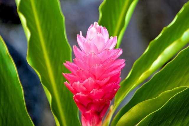 Alpinia - parlak yapraklar ve muhteşem çiçek salkımları-Bakım