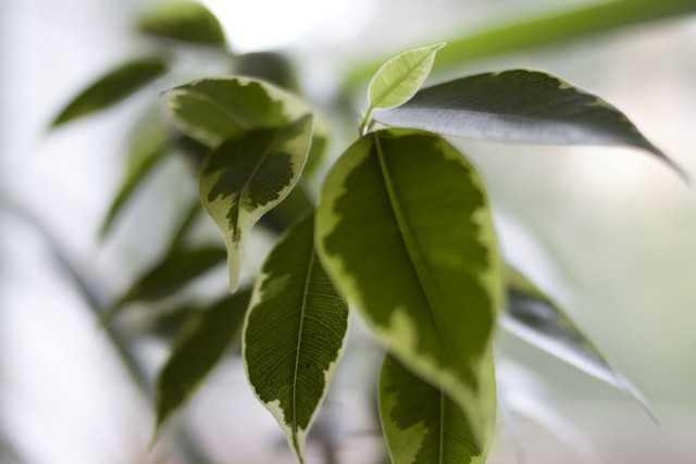 Benjamin'in Alacalı Ficus'u - bakım