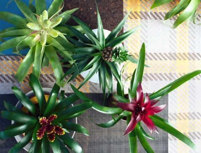 Bromeliad bakımında 10 hata - Güzel ev bitkileri
