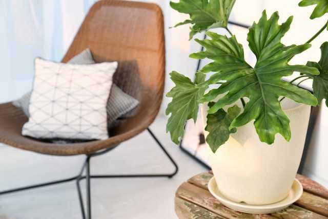 Büyük Yapraklı En Muhteşem 5 Ev Bitkisi - Güzel Ev Bitkileri