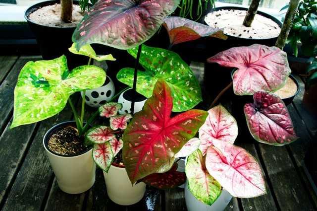 Caladiums - inanılmaz derecede parlak ve orta derecede kaprisli - Güzel iç mekan bitkileri