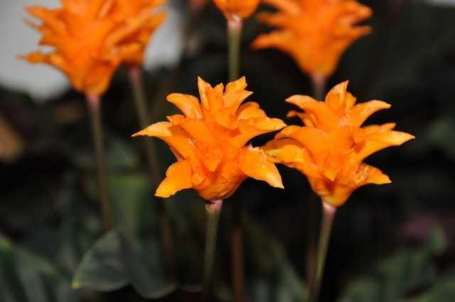 Calathea - dua çiçeği - yetiştirme ve bakım