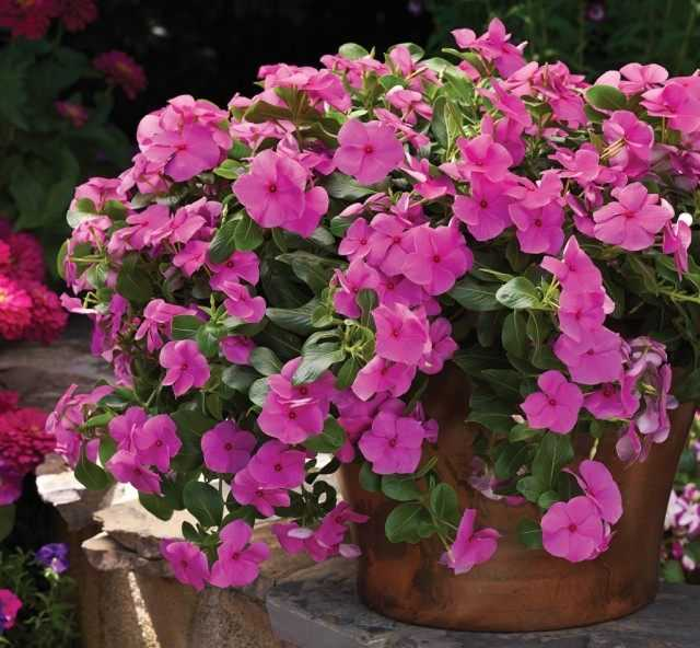 Catharanthus'un neşeli güzelliği – büyüyen ve sevecen