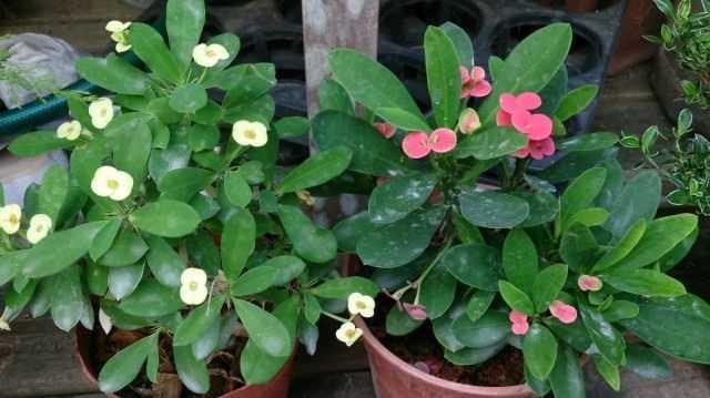 Euphorbia Mila veya Dikenli Taç bakımı