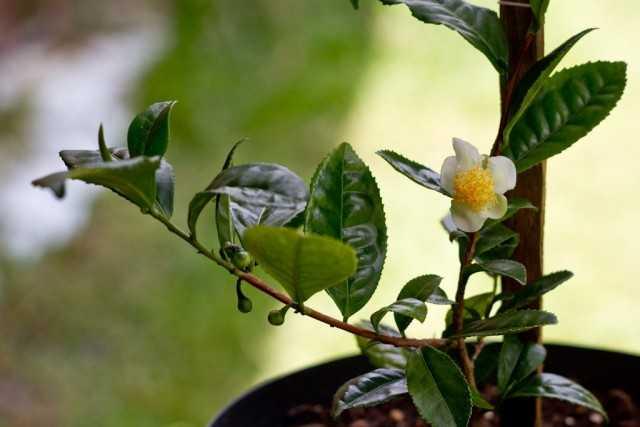 Evde çay yetiştirmek – bakım