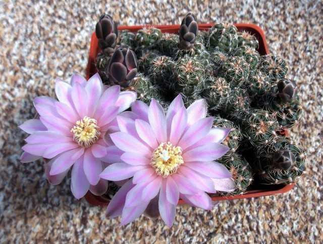 Gymnocalycium – dikenli güzellik bakımı
