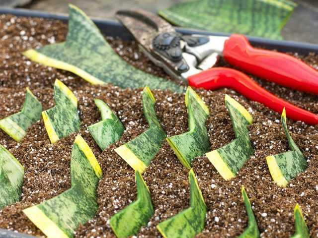 İç mekan bitkilerinin kesimlerinin özellikleri-Bakım