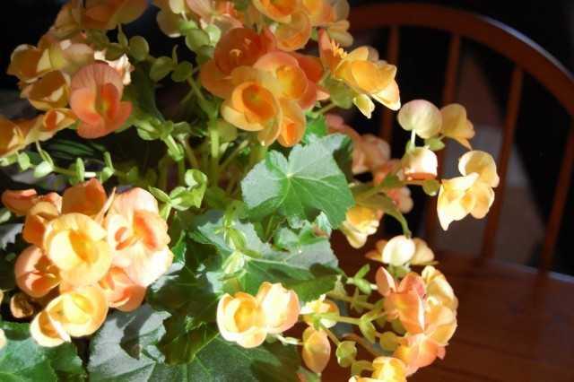 İç mekanda büyüyen begonyalar - bakım