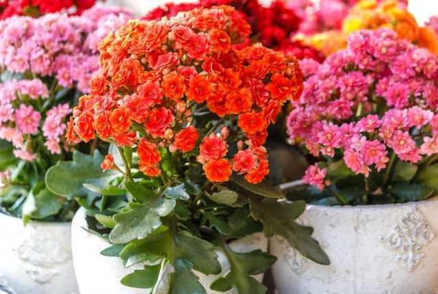 Kalanchoe'un daha uzun çiçek açması için ne yapmalı?