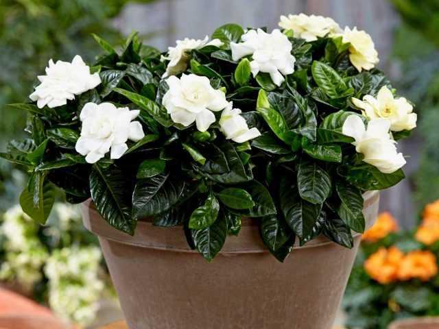 Kapalı gardenya - çarpıcı bir görünüme sahip kokulu bir çalı - Güzel iç mekan bitkileri