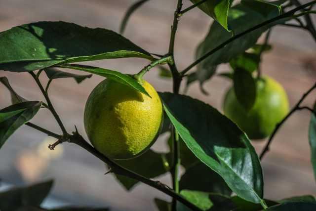 Oda Limon - bakım