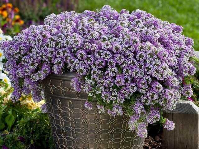 """Oda alyssum – çiçek ve bal aromalı """"yastıklar""""-Bakım"""