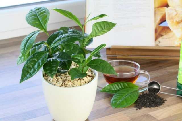Pencere kenarındaki gerçek çay çalısı - Güzel iç mekan bitkileri