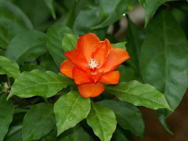 Pereskia - Çiçek Açan Yaprak Döken Kaktüs Bakımı