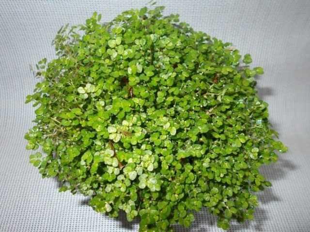 Soleirolia - yeşil top - bakım