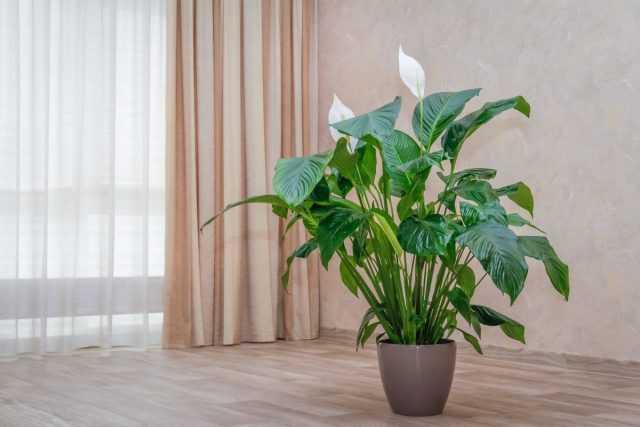 Spathiphyllum'un yaprakları neden kurur?