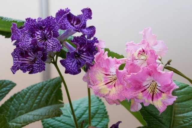 Streptocarpus - Minimum bakımla uzun ömürlü çiçeklenme - Güzel iç mekan bitkileri