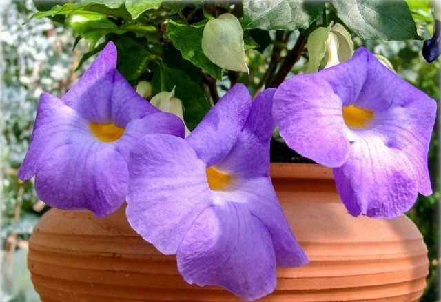 Tunbergia erectus - çiçekli iç mekan çalısı - Güzel iç mekan bitkileri