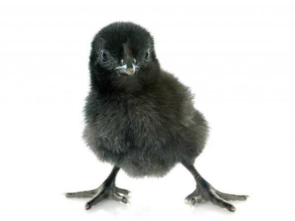 Цыплята боятся сквозняков
