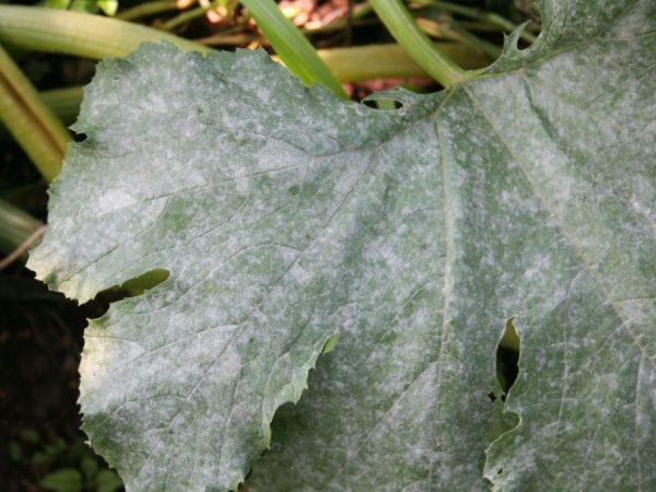 Мучнистая роса поражает листья