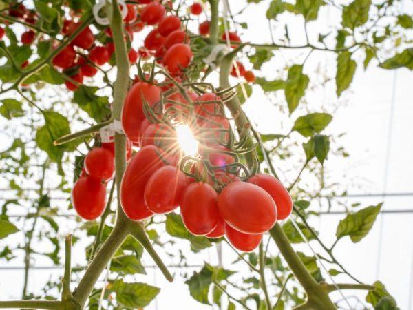 Caracteristicas De Los Tomates Chio Chio San Farmer