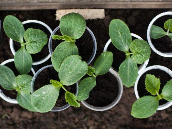 Растение можно пересаживать при появлении третьего листа