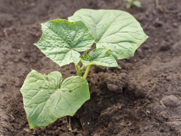 Для кабачков не подходит кислая почва
