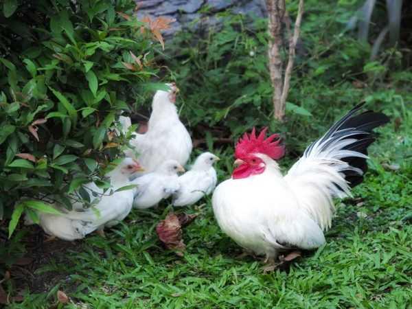 У кур не очень высокая яйценоскость