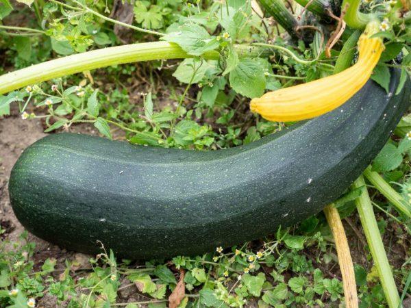 кабачки вырастают при правильной пересадке в грунт