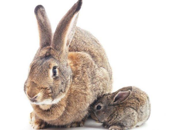 Породы больших и маленьких кроликов