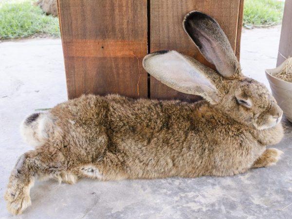 Кролик-гигант по имени Дарий