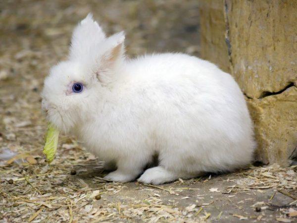 Кролик Гермелин