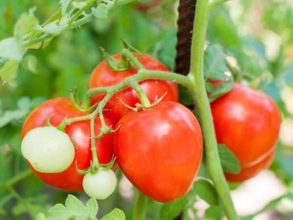 Caracteristicas De Las Variedades De Tomate Crema Moscu Farmer