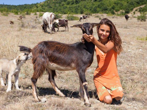 ⋆ Die Entladung von Ziegen nach dem Lämmen ⋆ Farmer